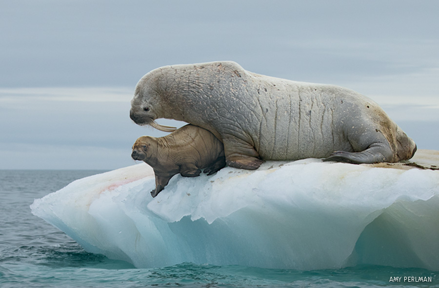 young walrus with adult walrus on ice