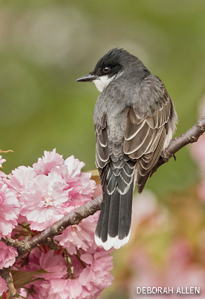 Eastern Kingbird Perched in Blooming Cherry