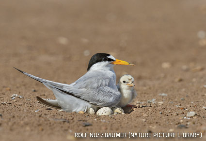Least tern adult warming newborn chicks