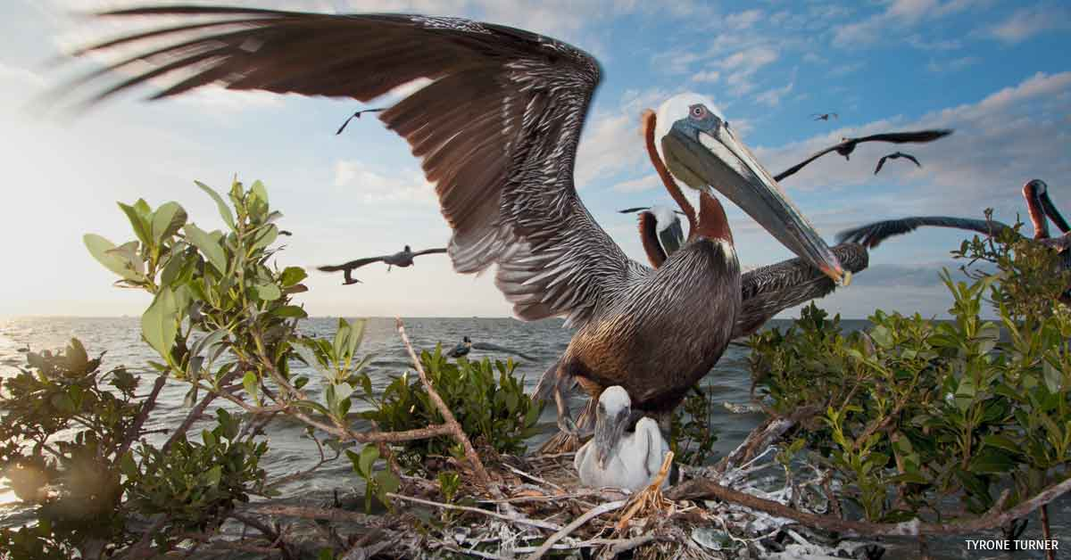 Brown pelican nests on the Cat Island rookery