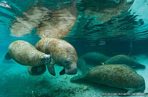 A young Florida manatee suckling from its mother
