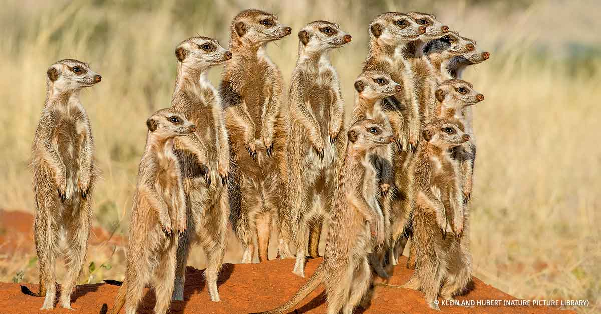 Meerkat alarmed group standing on hind legs