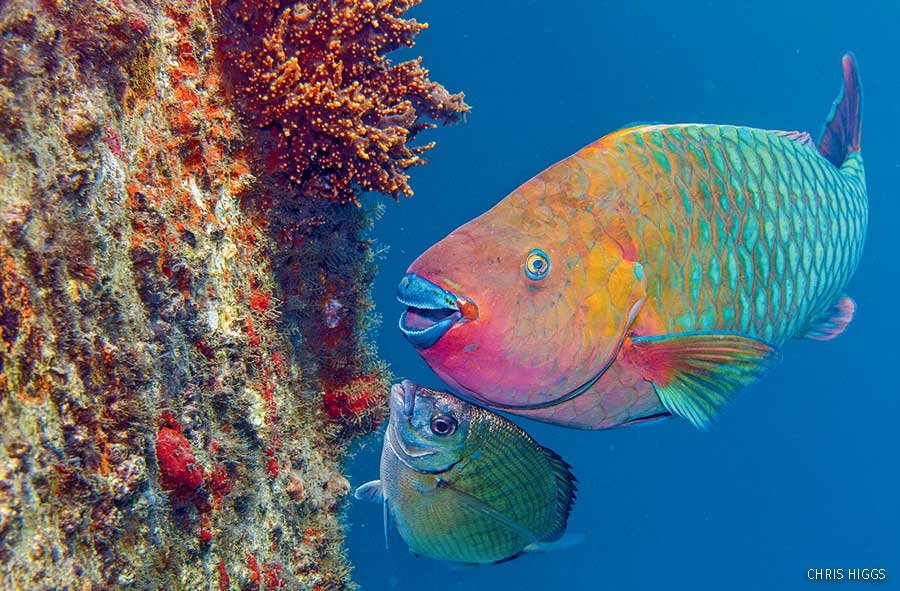 A rainbow parrotfish at a reef
