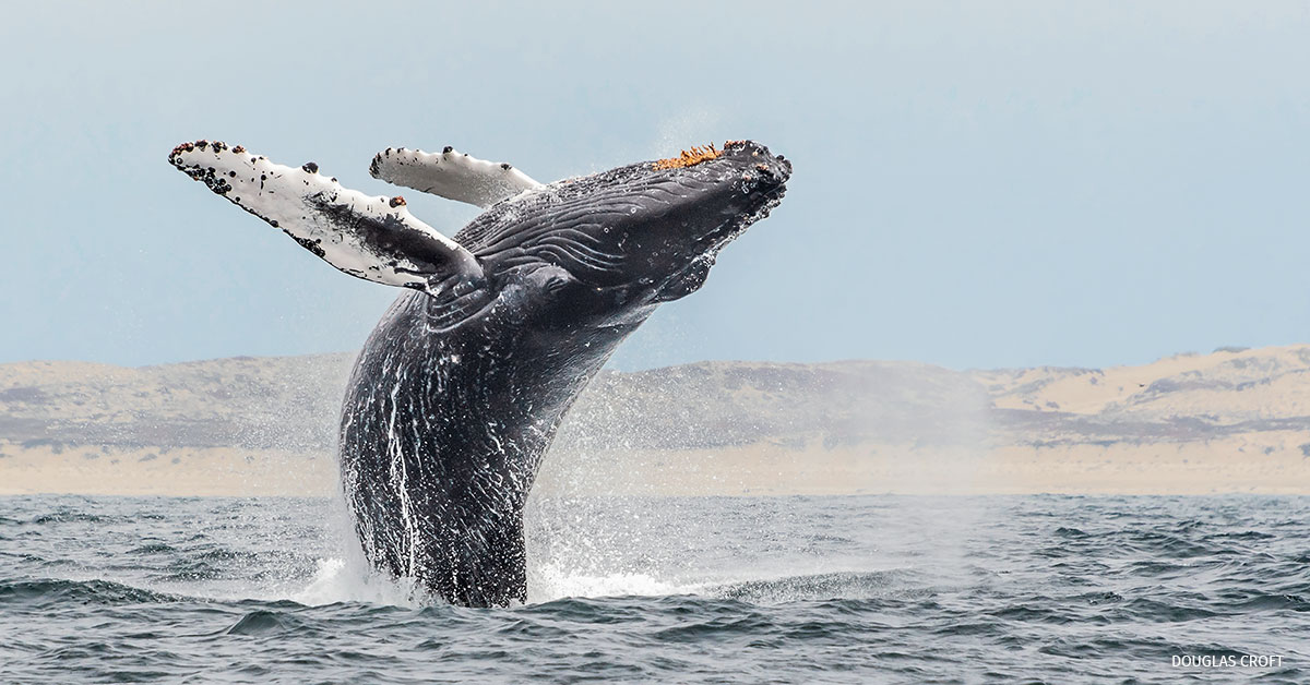 Whale breaching out of the water in California.