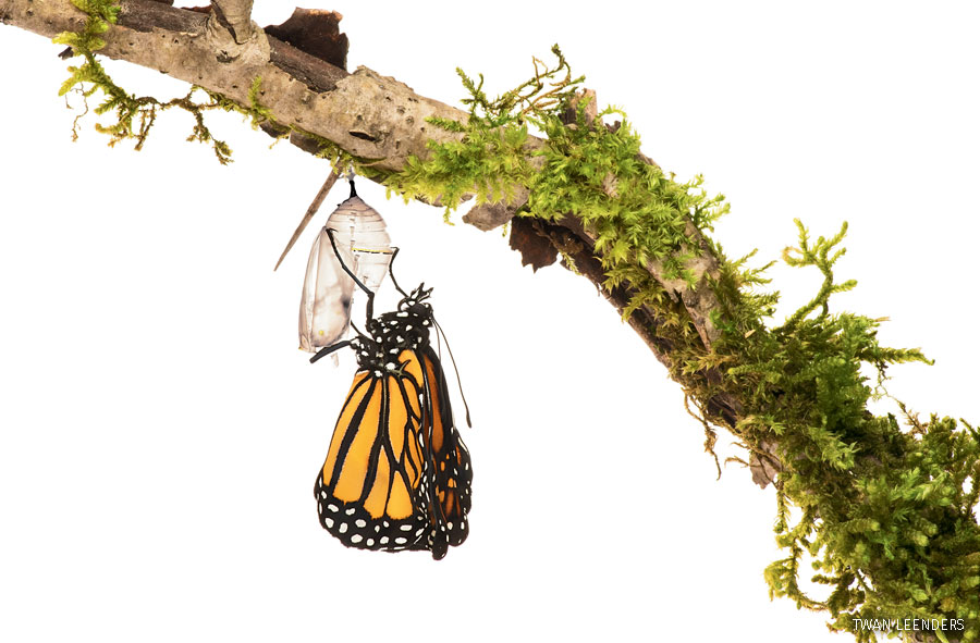 """Monarch butterfly emerging from chrysalis"