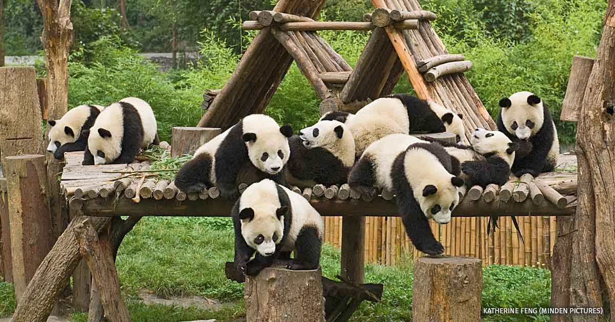 Giant Panda group of nine on playground