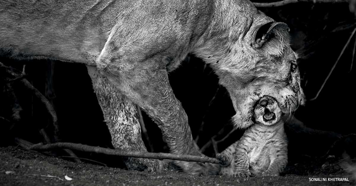 A mother lioness gently biting her cub