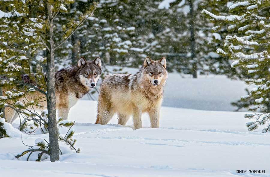 Two wild wolves in Yellowstone National Park.
