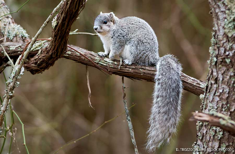 A Delmarva fox squirrel on a tree branch.