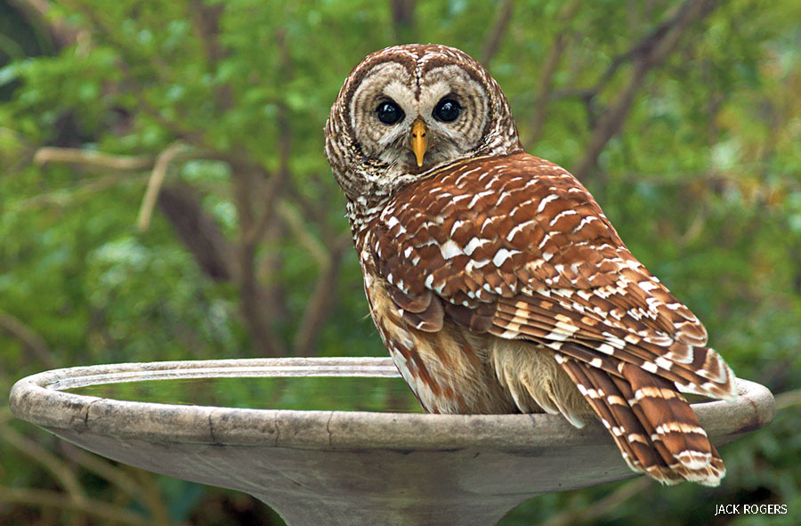 Barred owl on bird bath, Orlando FL
