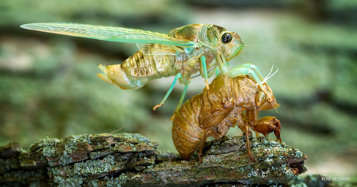 A cicada drying itself off after shedding its nymph skin.