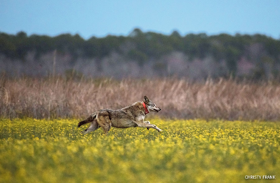 Female red wolf 1849 sprints across a field in the heart of the Alligator River National Wildlife Refuge to join 2282 in the wild