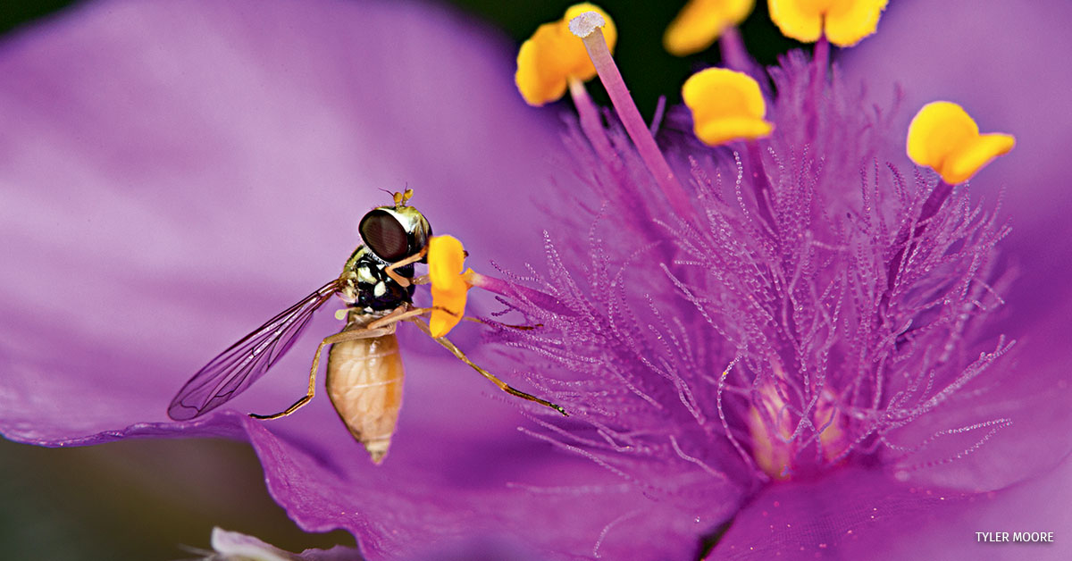 A Hoverfly on purple Spiderwort.