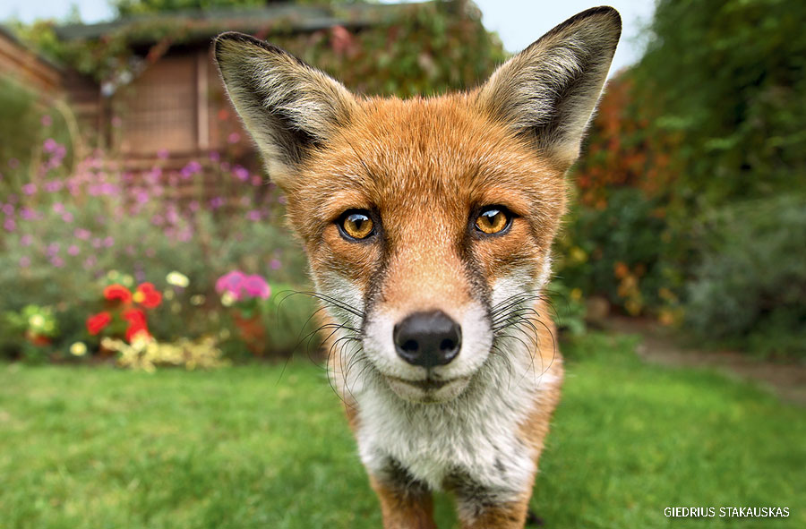 A red fox in a garden