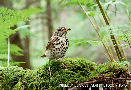 Hermit Thrush, Hocking Hills State Park, Ohio.