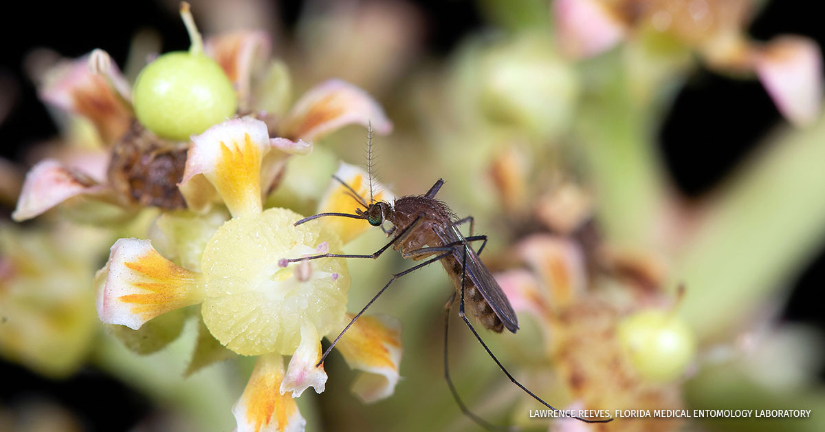 A mosquito visiting a flower.