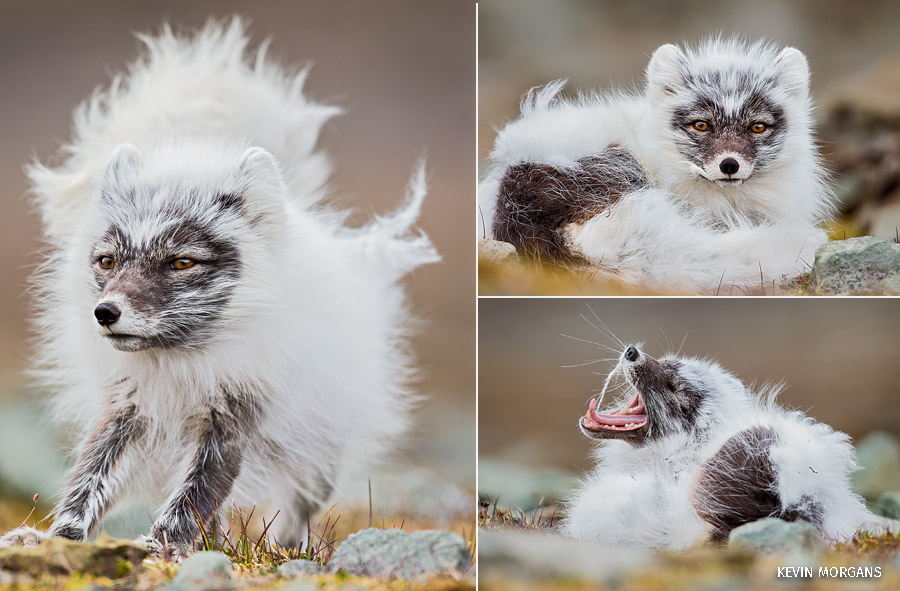 A composite of three photos of a molting arctic fox.