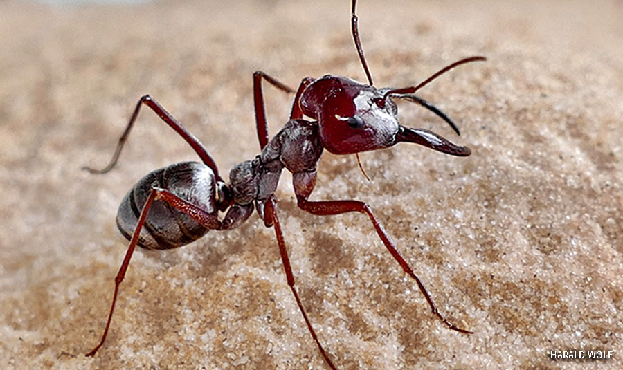 A close up of a Saharan silver ant