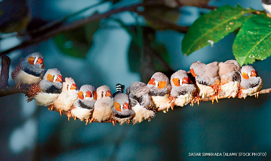 Twelve zebra finches sitting on a branch