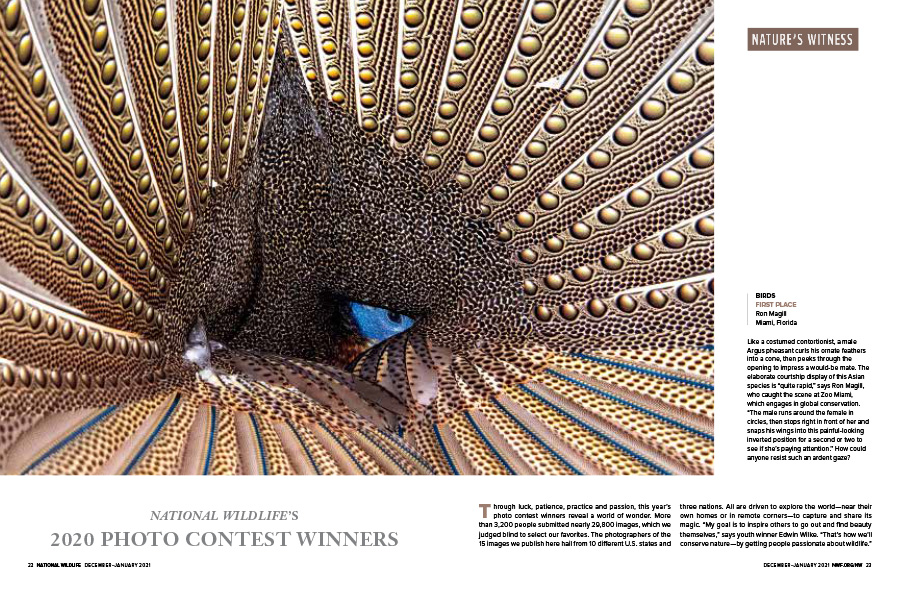 Magazine spread including an argus pheasant in a courtship display.