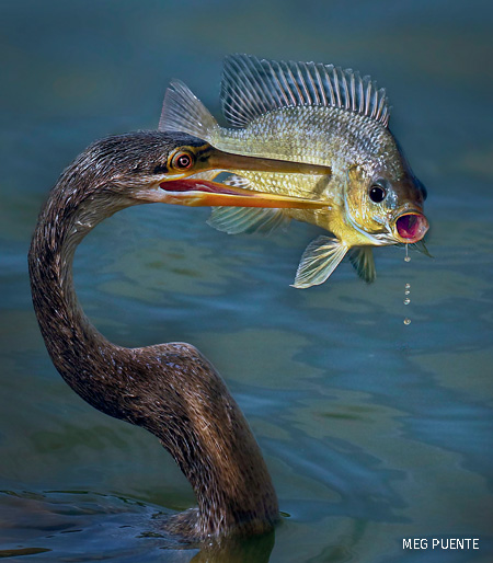 An Anhinga spears a fish with its beak in Loxahatchee National Wildlife Refuge.