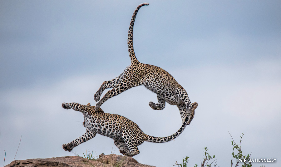 Two leopards playing with each other in Samburu National Park.