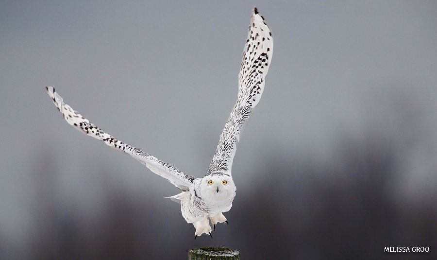 A snowy owl flying directly at the camera in Ontario, Canada.