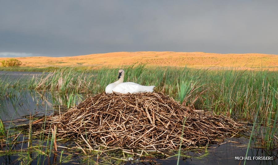 trumpeter swan in its nest