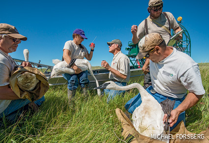 researchers tagging swans with satellite transmitters