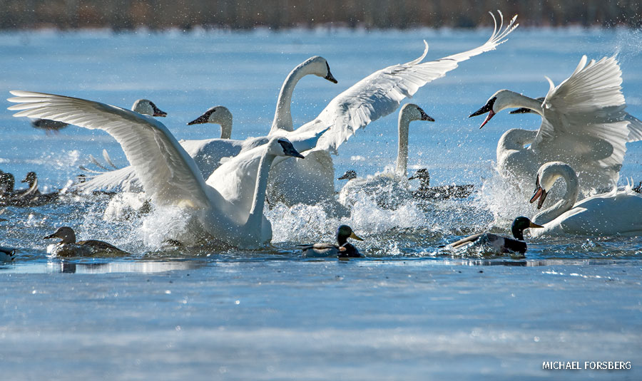 A skirmish erupts between trumpeter swans on the water