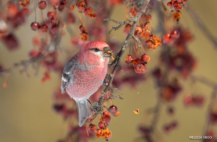 A red pine grosbeak on a branch with berries.
