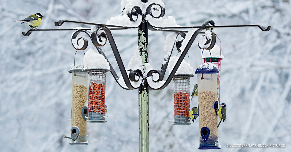 Blue Tit and Great Tit adults, flock feeding at snow covered birdfeeders in woodland, Brentwood, Essex, England