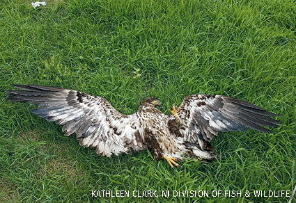 A dead immature bald eagle that was electrocuted in Cape May County, NJ.