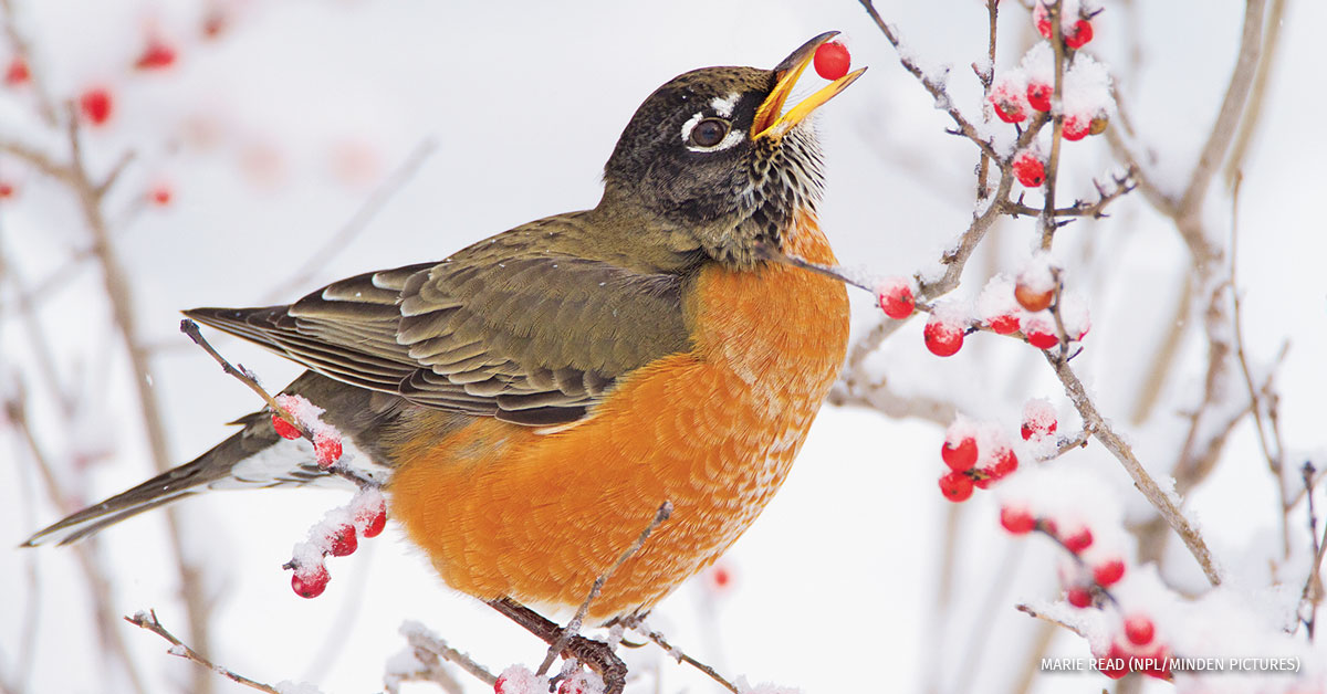 Male American robin feeding on Winterberry in New York