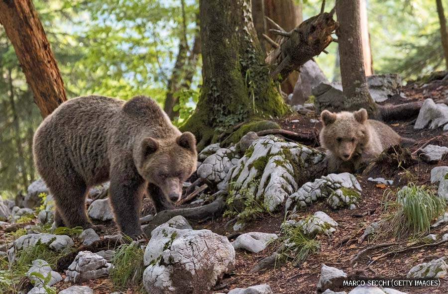 """A brown bear with cub forages on September 14, 2017 in Ljubljana, Slovenia."