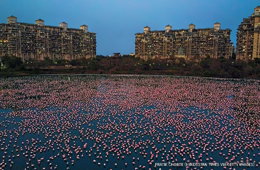 """Flamingoes are seen in huge numbers behind NRI colony in Talawe wetland, Nerul, during nationwide lockdown due to Coronavirus, on April 18, 2020 in Mumbai, India."