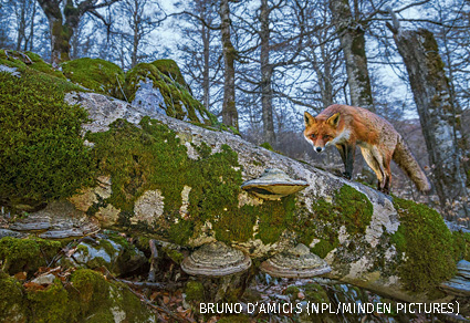Red fox walking on fallen centuries-old beech tree in Coppo del Principe old-growth Beech forest on winter twilight.