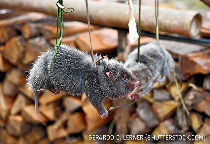 Lesser bamboo rat on a rope, North Laos.
