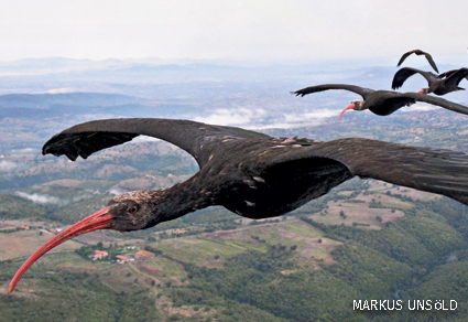 A flock of northern bald ibises fly in a v-formation