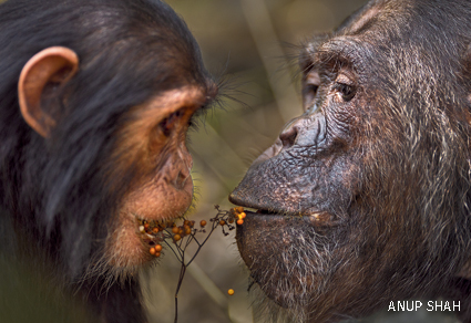 A pair of chimpanzees share fruit