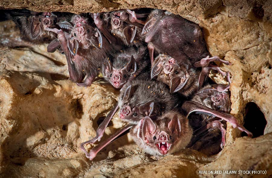 """""""A group of vampire bats in Costa Rica"""