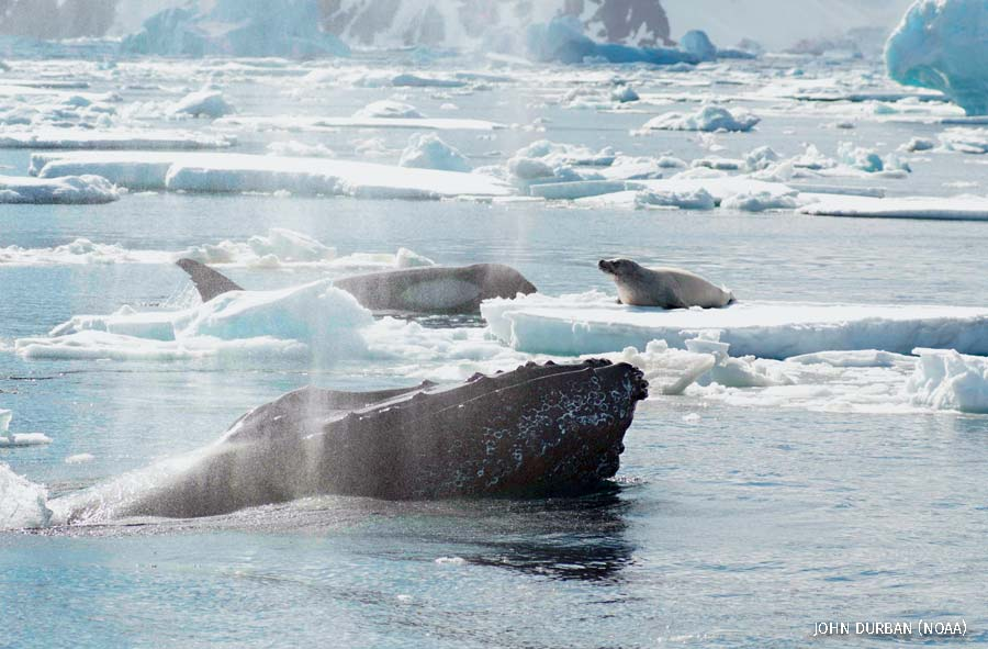 """""""A humpback whale bellows (foreground) and is photographed just before it saves the life of a seal (on ice floe) from killer whale predation (background)."""