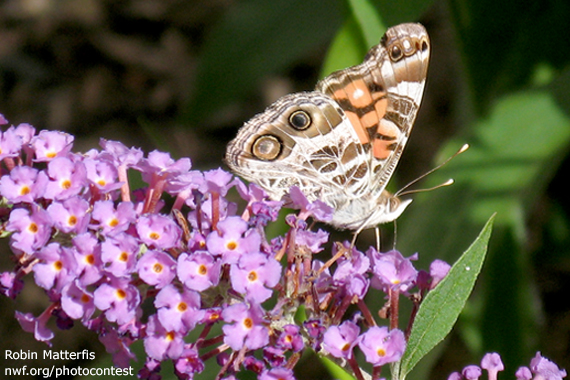 Photographer Robin Matterfis Made This Image Of A Painted Lady Butterfly On  The Butterfly Bush She Planted In Her Backyard Habitat Butterfly Garden.
