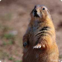 The big importance of little towns on the prairie ever since people first set eyes on prairie dogs the impulse to anthropomorphize has been irresistible after all the sociable rodents greet each other m4hsunfo