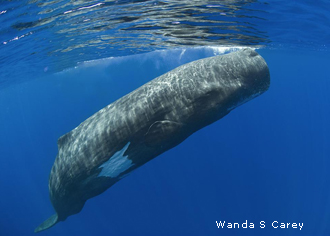 Food resources from sperm whales