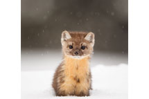 Young Pine Marten in Wyoming