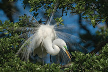 Great Egret Courtship Display in Florida