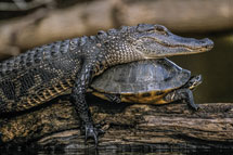 American Alligator and Red-bellied Cooter in Florida