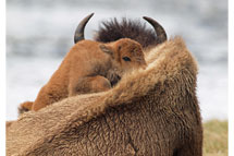 Bison Mother and Calf, Wyoming