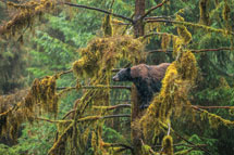 Black Bear in Tongass National Forest, Alaska
